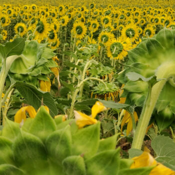 THE BACK SIDE OF SUNFLOWERS